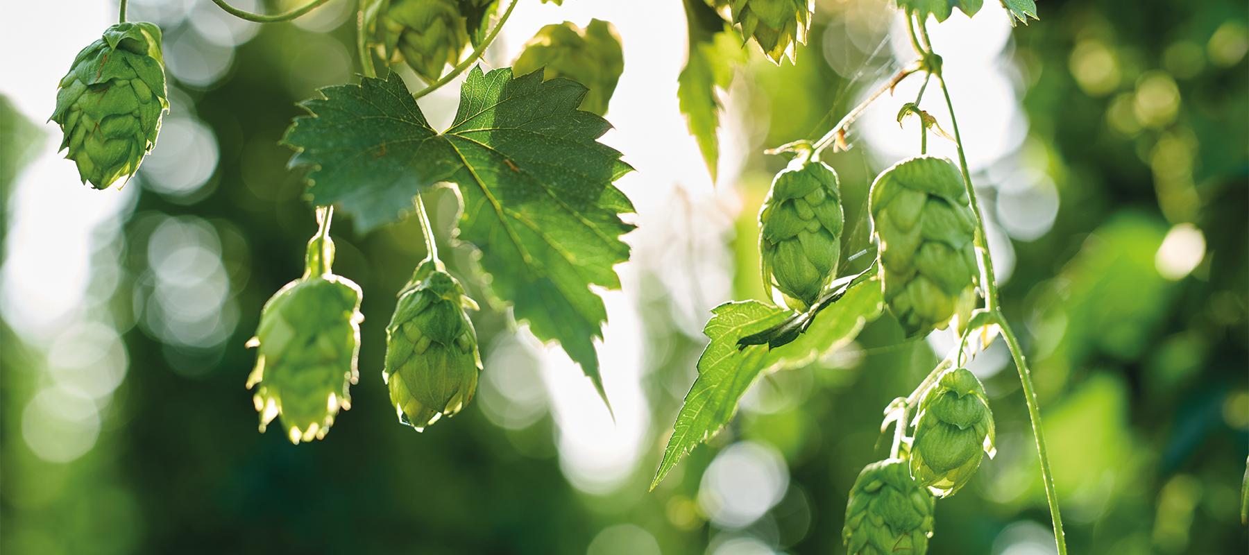 Bier van de maand augustus 2020: OMER. Traditional Blond