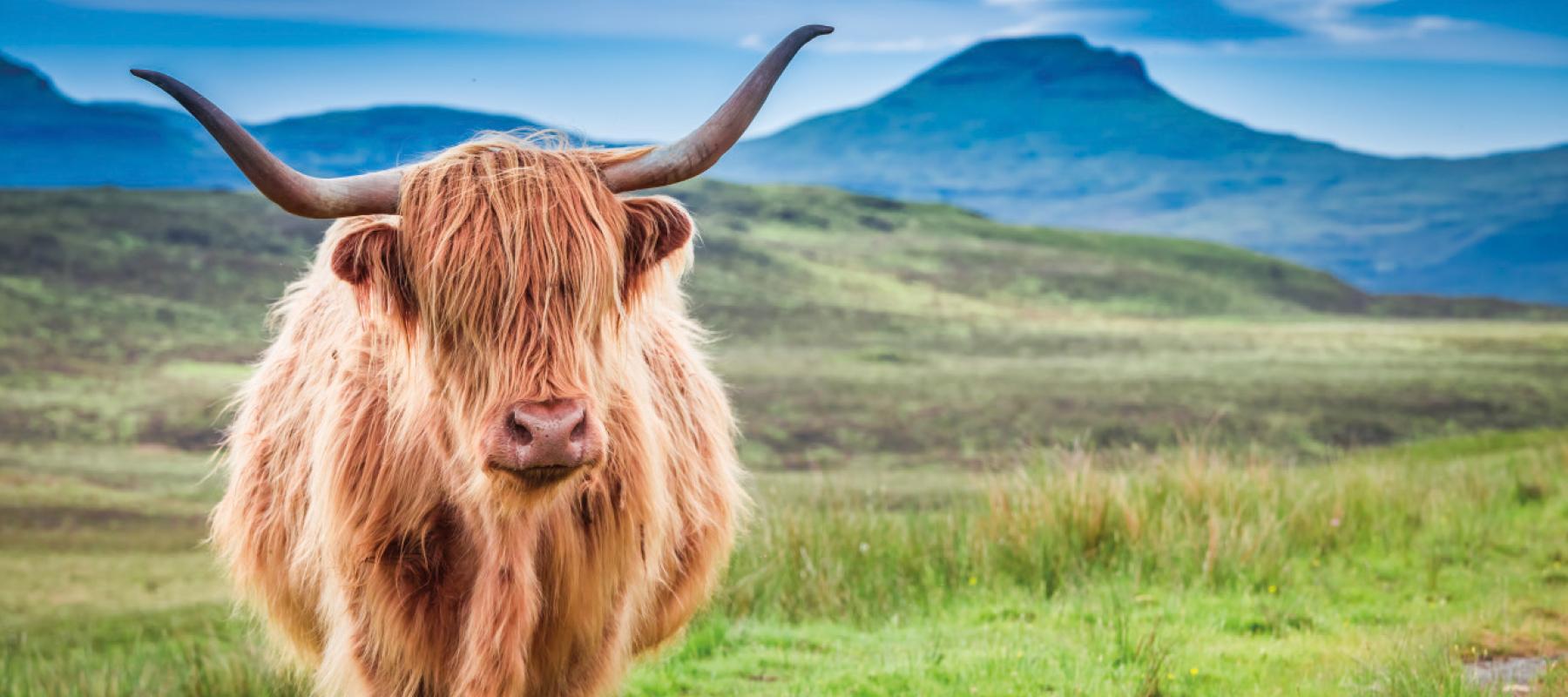 Spirit van de maand januari 2021: The Highland Bull
